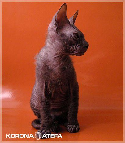 Донской сфинкс, мальчик, черного окраса.  Тип шерсти браш.