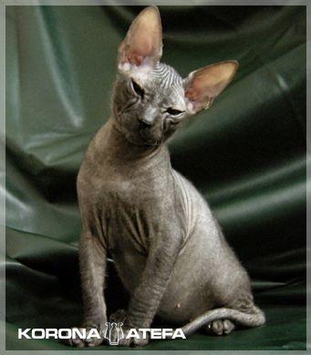 http://www.atefa.net/img.php?img=server:photos_kittens_solomon_115
