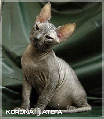 http://www.atefa.net/img.php?img=server:photos_kittens_solomon_315
